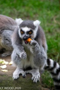small monkey eating carrot